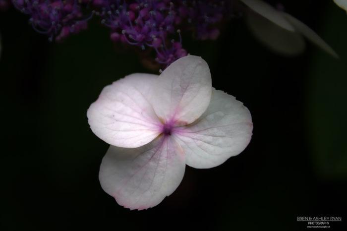 Hydrangea from Scotney