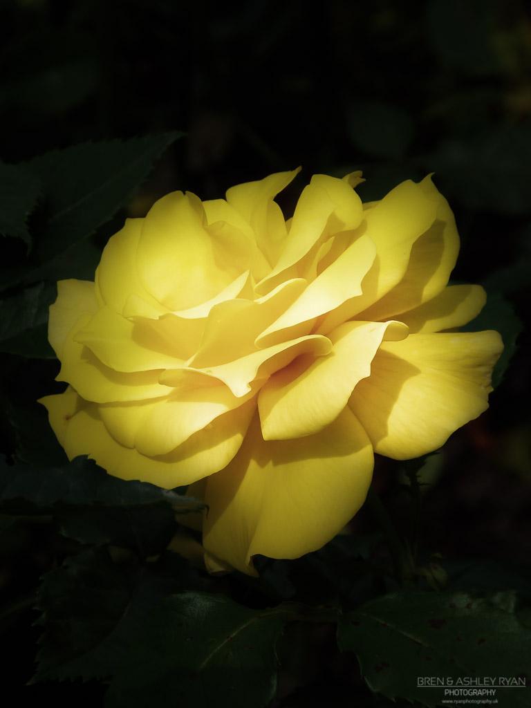 Morden Rose