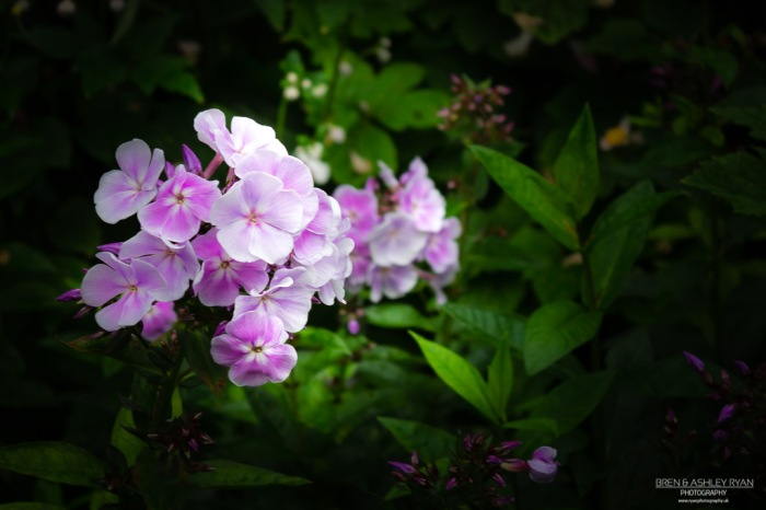 Purple flowers of Scotney