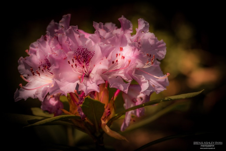 Rhododendron from Doddington