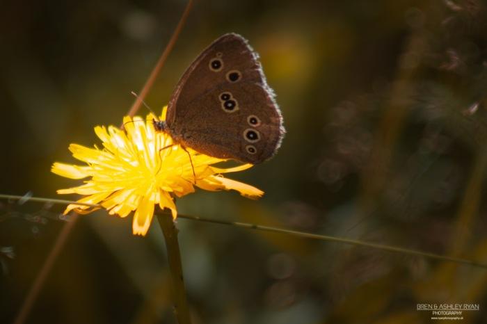 Buttlerfly resting on a dandelion.