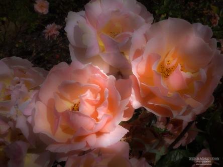 Morden Hall Park roses