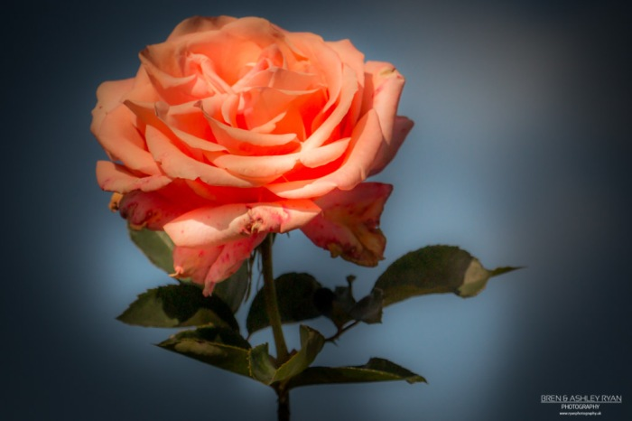 Rose from Morden Hall