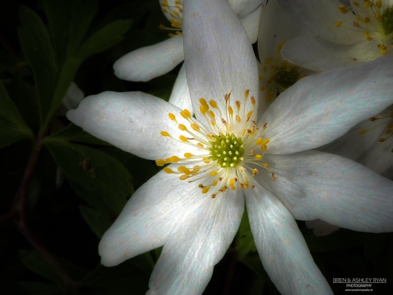 Crowfoot - Anemone nemorosa