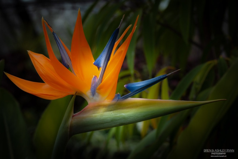 From Hall Place - Bird of Paradise