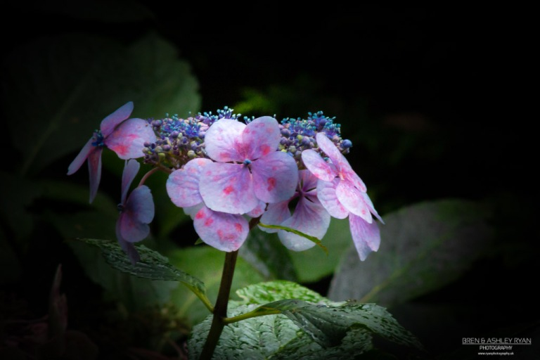 Hydrangea from Great Comp