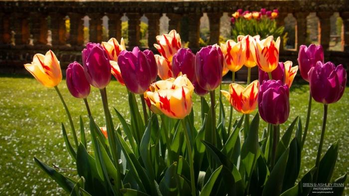 Tulips from Doddington