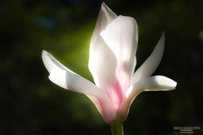 Goodnestone Park Gardens Magnolia