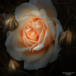 Ightham Mote Rose