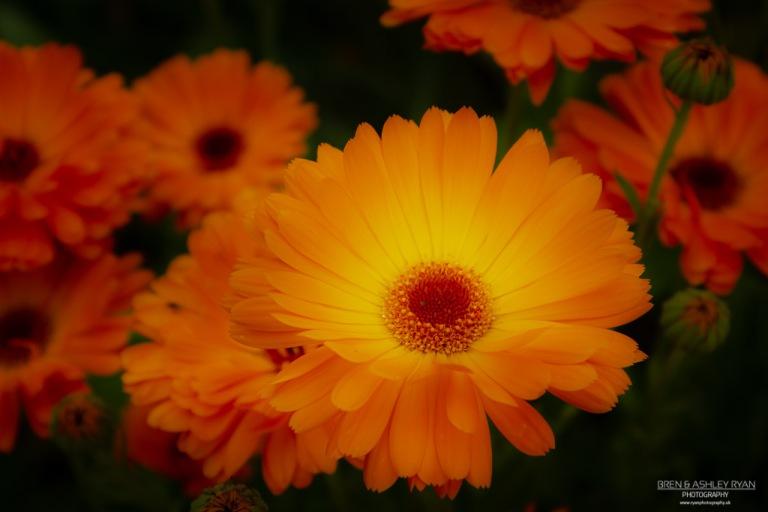 Orange flowers from Penshurst