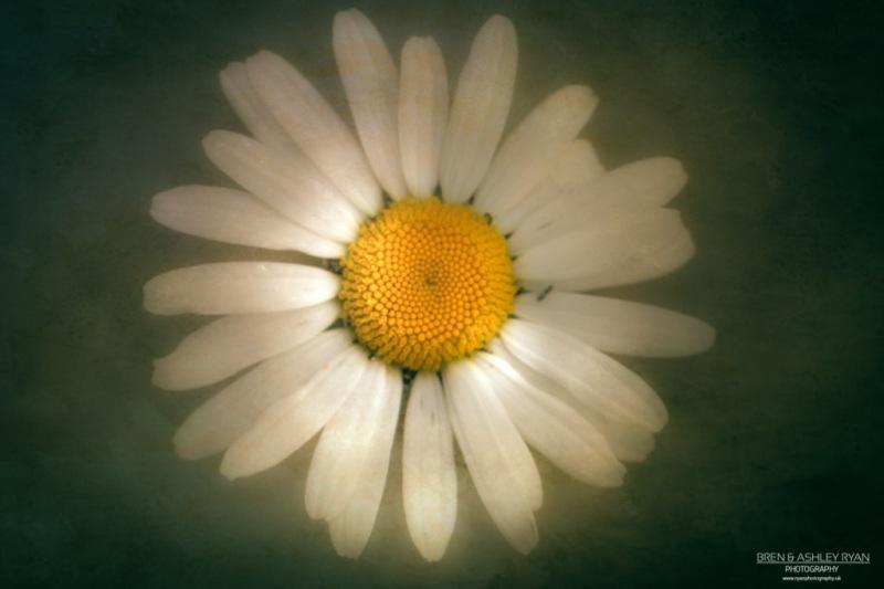 Textured Daisy