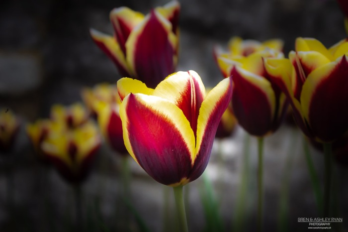 Tulips from Rochester