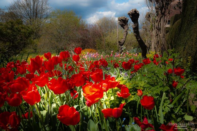 Tulips upon Tulips