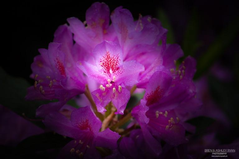 Riverhill Rhododendron