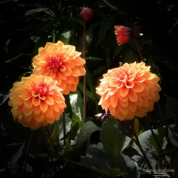 A photograph of apricot coloured dahlias photographed at Nymans in West Sussex.