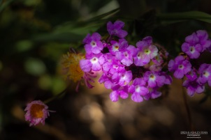 A photograph of pinkish/mauve flowers photographed in the USA.