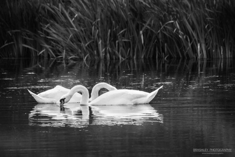 Leeds Castle Swans