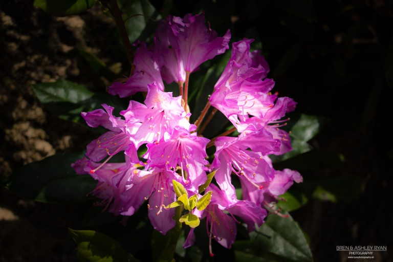 Rhododendron from Scotney