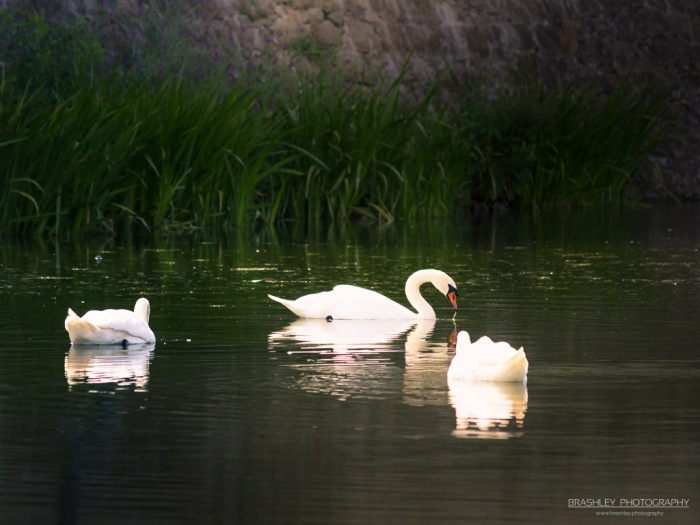 Swans at Leeds Castle