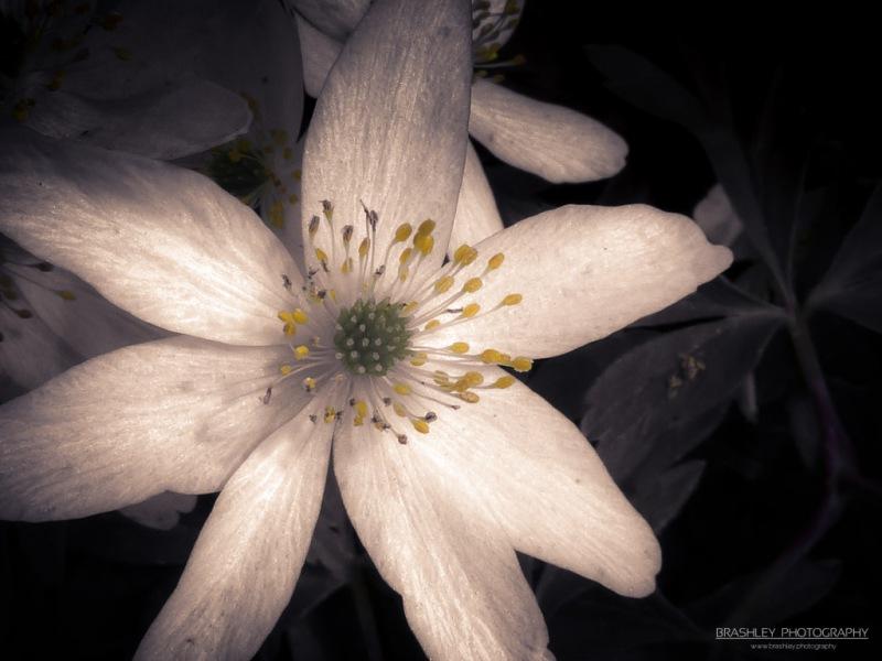 Crowfoot - Anemone nemorosa