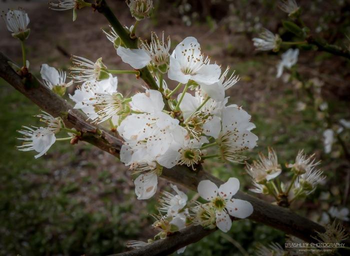 Leybourne Lakes Blossom