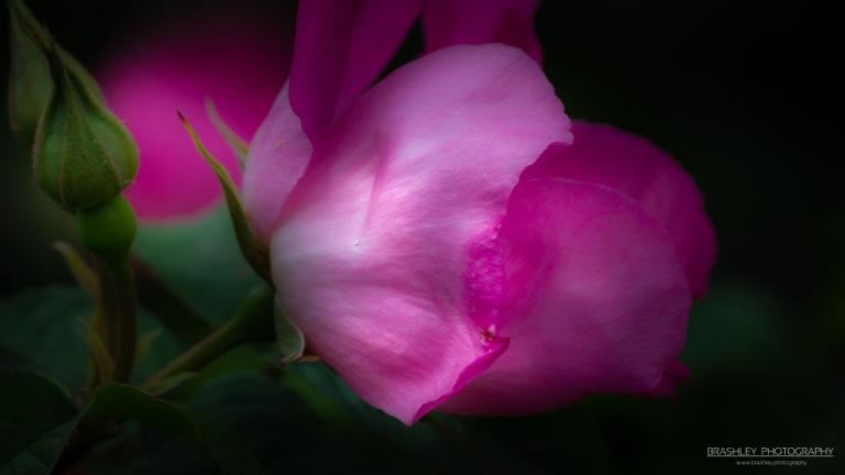 Nymans Rose