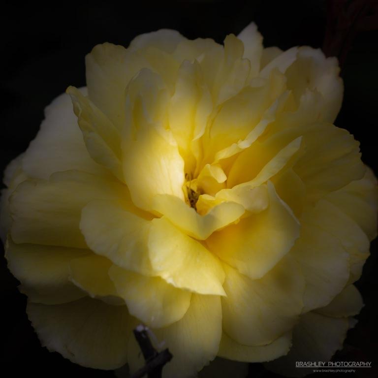 Rose of Nymans
