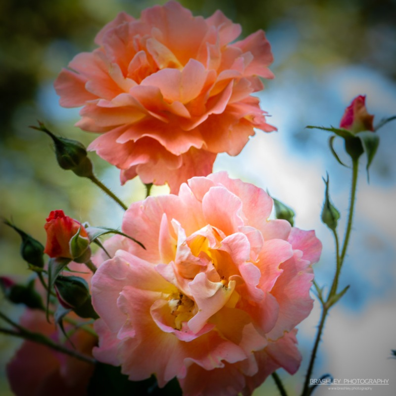 Salmon Coloured Roses