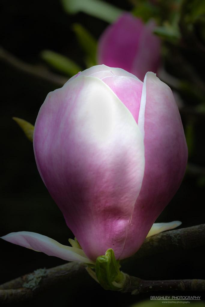 Batemans Magnolia