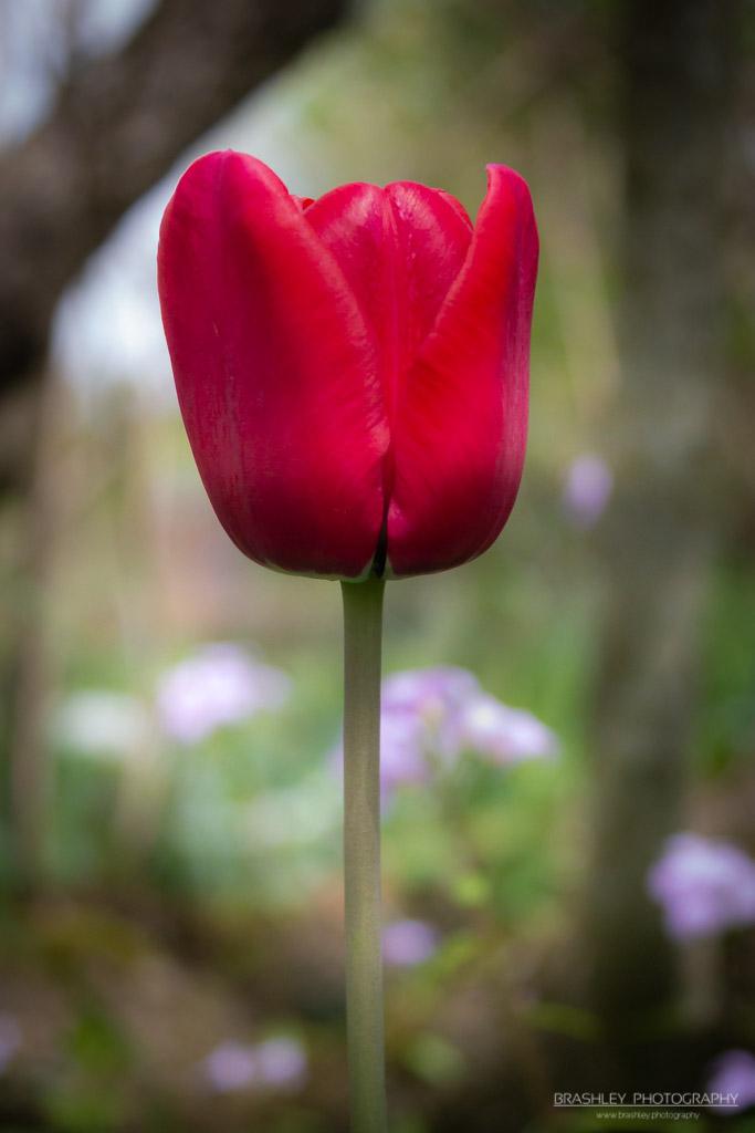 Batemans Tulip