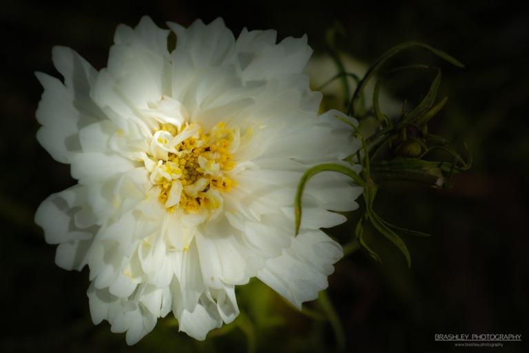 Belmont Flower
