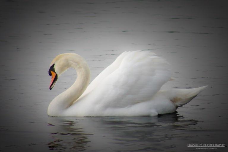 Leybourne Lakes Swan