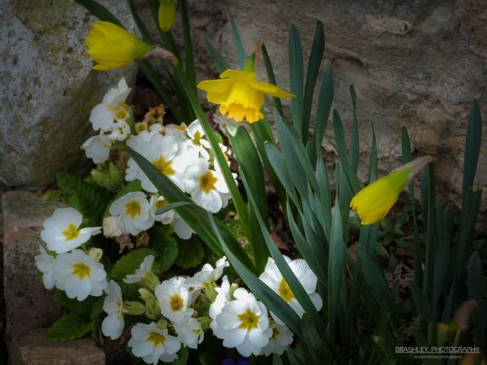 Primroses and Daffodils
