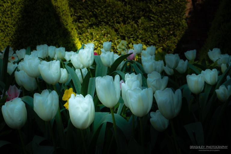 White Tulips of Doddington