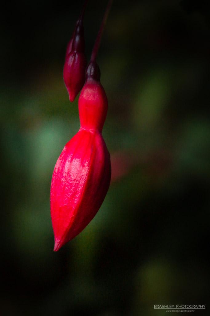 Belmont Fuchsia