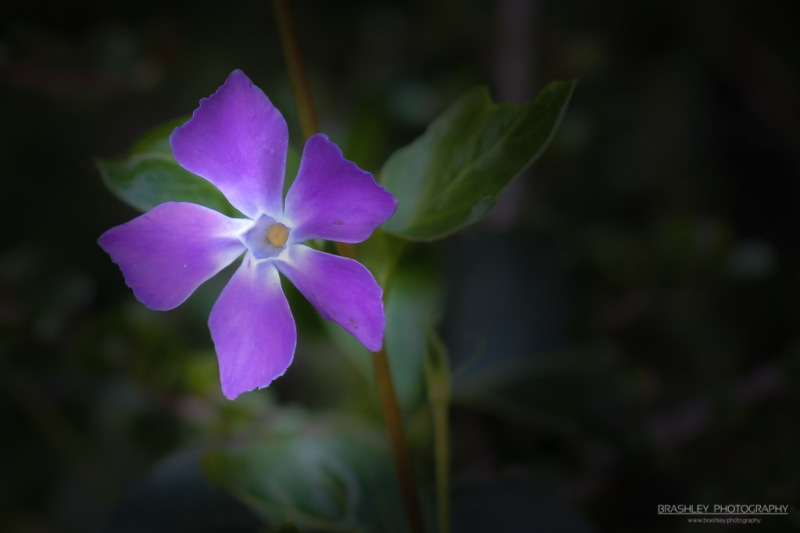 Chartwell Flower