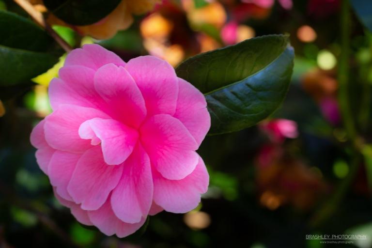 Goodnestone Park Gardens Camellia