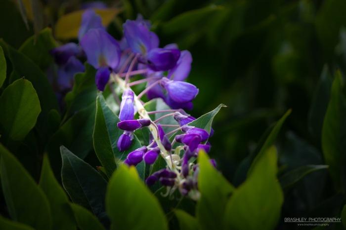 Purple from Leeds Castle