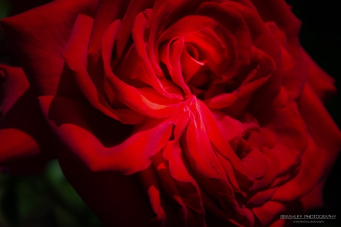 Red Rose of Belmont