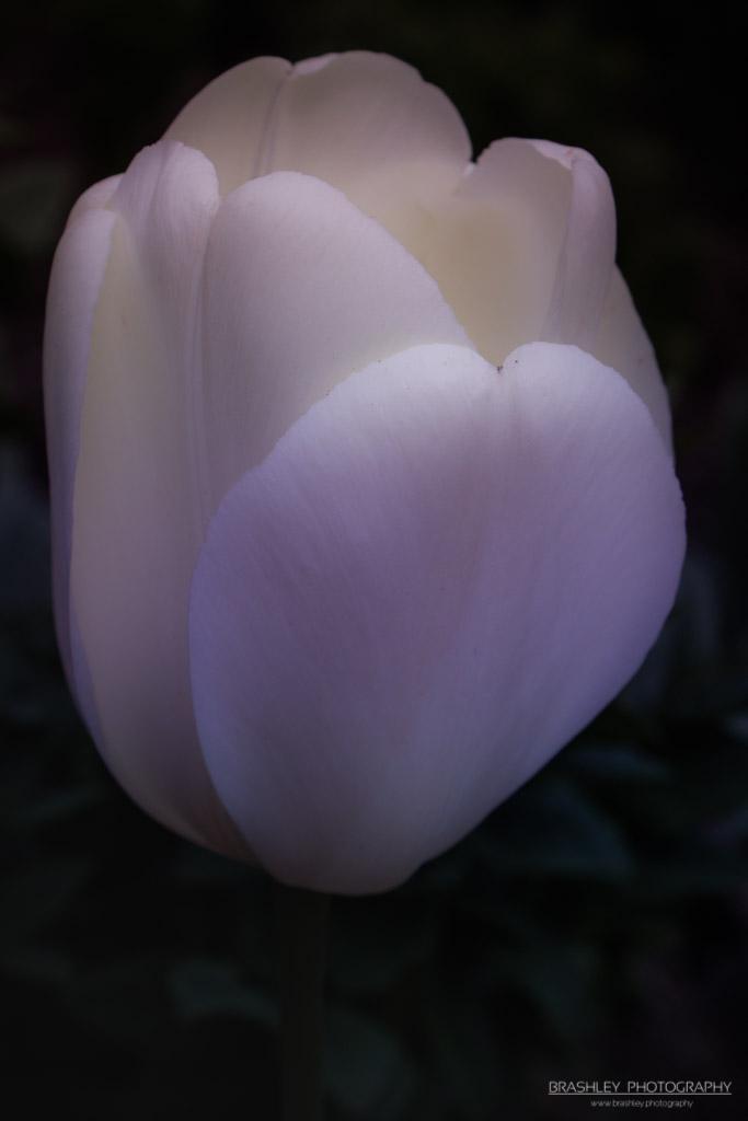 Hole Park Tulip