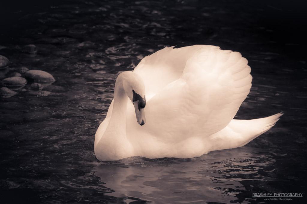 Mid-Week Monochrome – MWM – 38 – Mute Swan