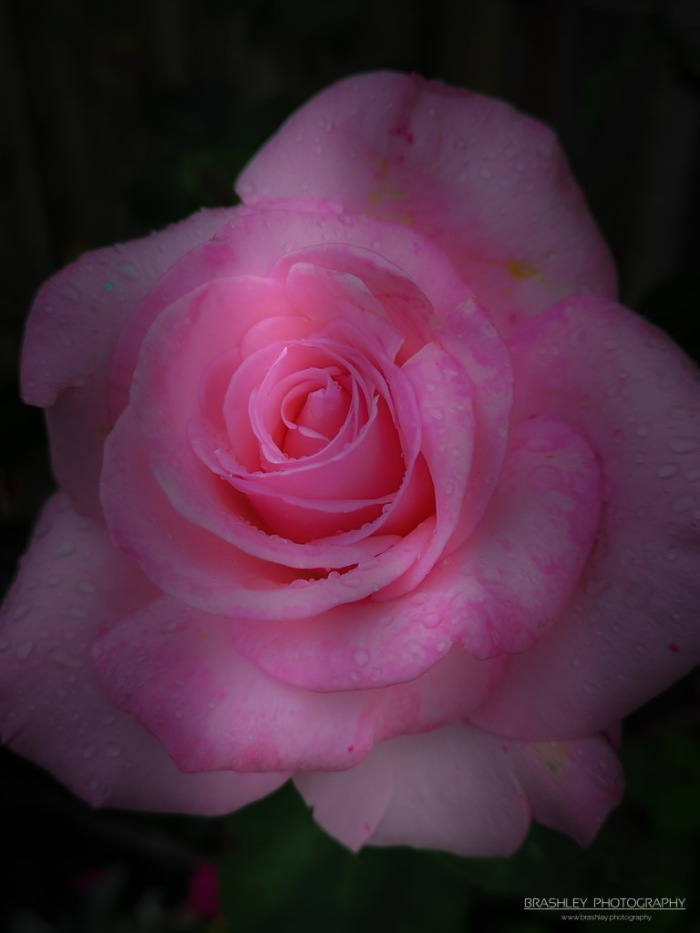 Smallhythe Rose