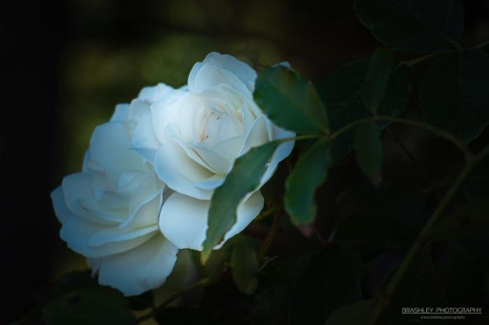 White Roses,