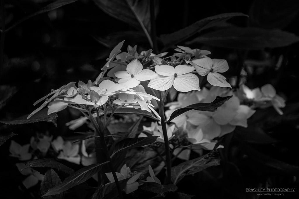 Mid-Week Monochrome #50 – Hydrangea